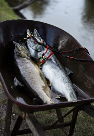 Catching Wheel Barrows of Salmon